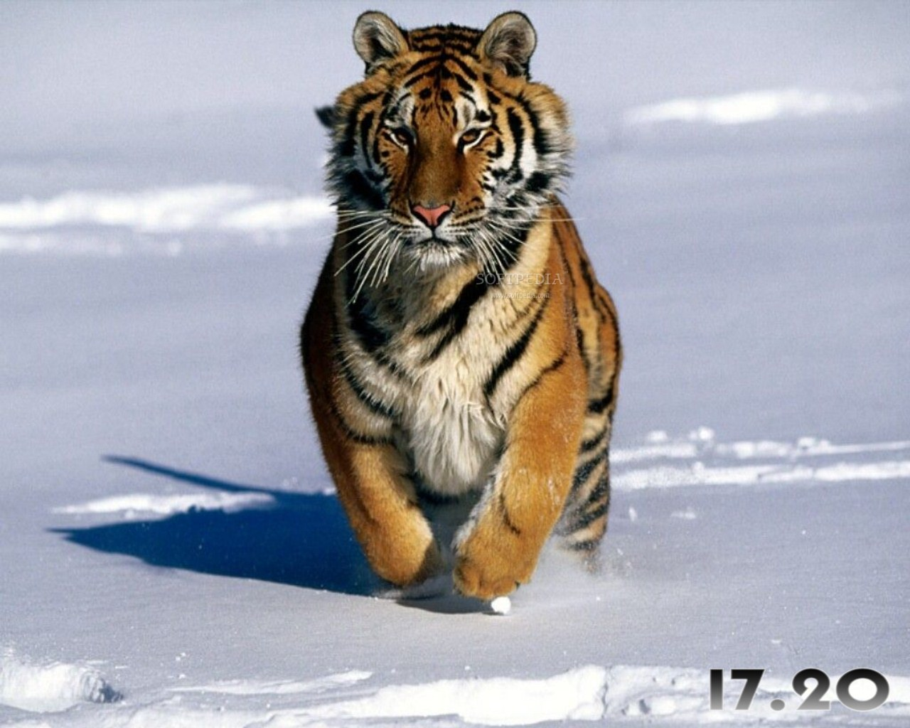 Behavioral Adaptations of a Tiger This Tiger is Adapted to