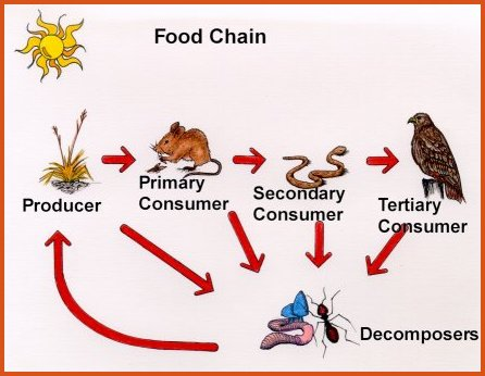 food chain in forest ecosystem